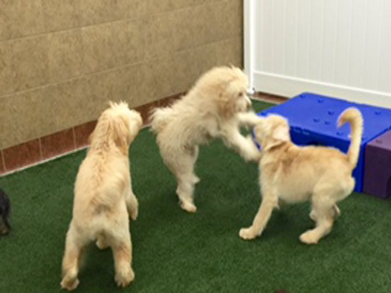 Dog Daycare Playing